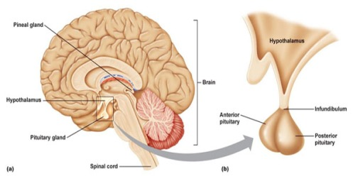 Image result for pituitary gland
